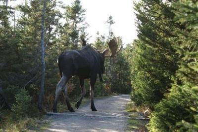 big moose 2
